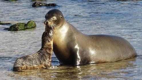 Sea lions from the island of San Cristobal, Galapagos, Ecuador (photo courtesy of Pam Chasek)